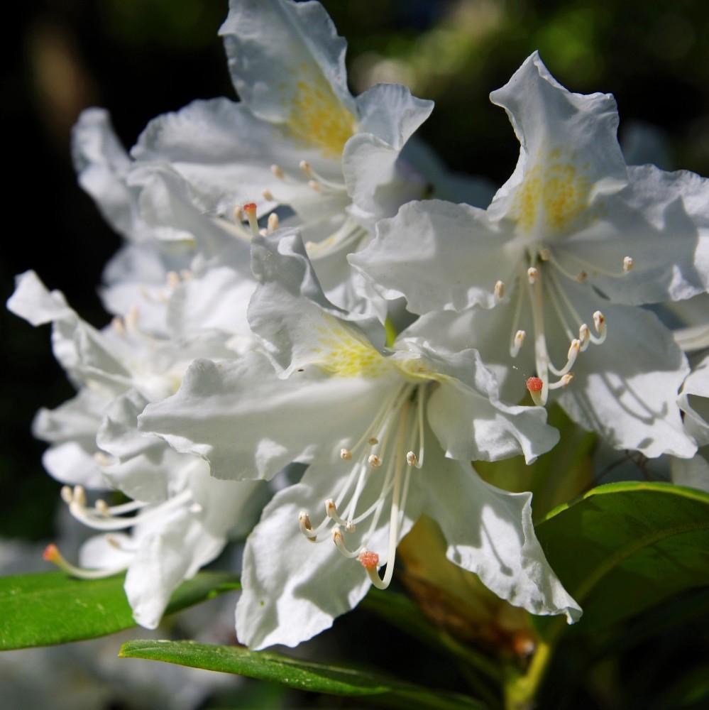 IMGP95541865Rhododendronen