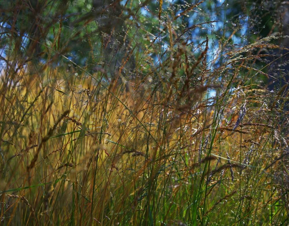 IMGP1358Ängsgräset