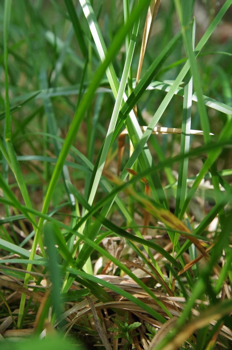 IMGP1303gräs