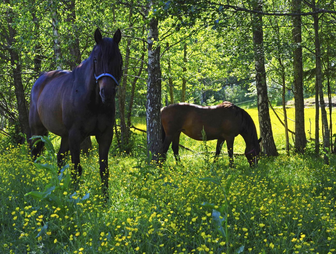 _IMG6724sommarhästarna